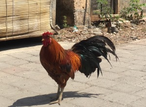 A free roaming rooster