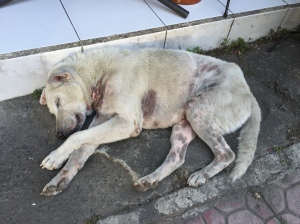 Bali Dog sleeping outside a store front on Monkey Forest Road