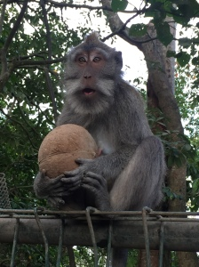 Monkey with a coconut