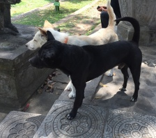 Bali dogs at the Tirta Gangga Water temple - Bali Indonesia