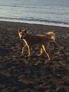 Bali dog running free on the beach - Amed Indonesia