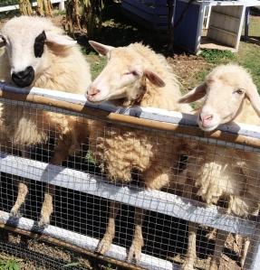 Pai Village farm goats