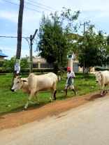Farmer walking cattle