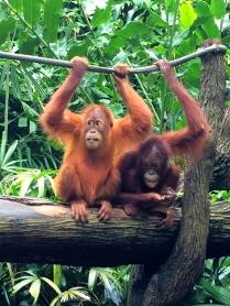 Orangutans - Singapore Zoo