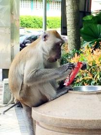 Curious Monkey - Kuala Lumpur