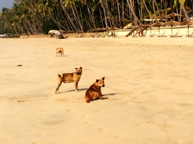 Feral dogs - Ngapali Beach - Burma