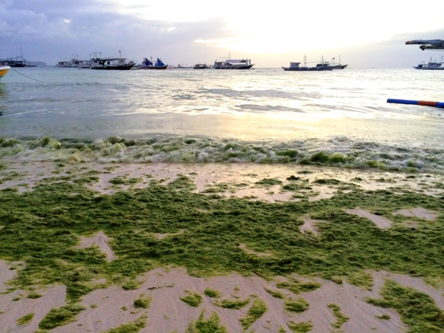 Algae bloom on White Beach