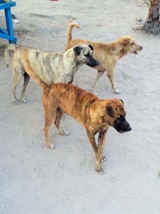 Feral dogs - Malapascua Philipines