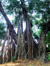 Tree in Luang Prabang