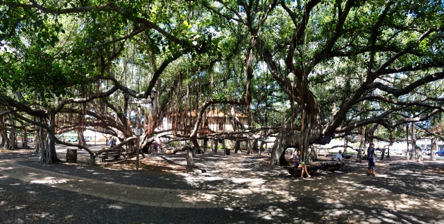 Largest banyan tree on Maui.