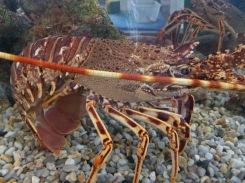 Live lobster for sale