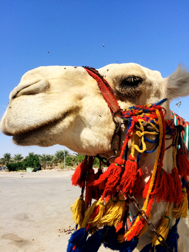 Camel in the West Bank