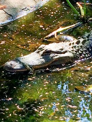 Lonely crocodile