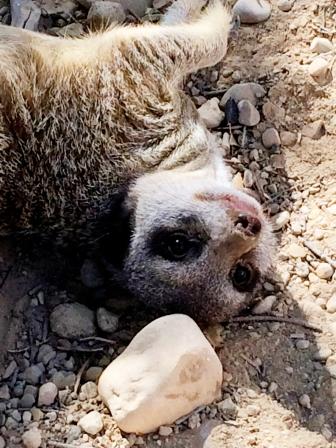 Depressed meerkat