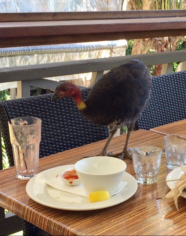 Australian bush turkey