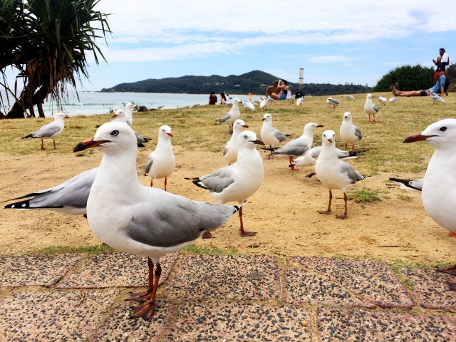 Seaguls on Byron Bay beach