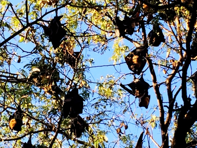 Spectacled Flying Fox colony