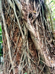 Strangler fig wrapped around a living tree