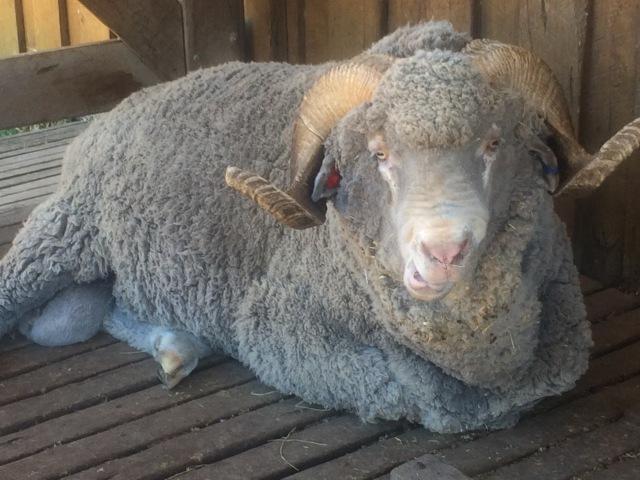 Merino lamb