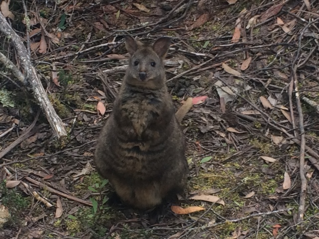 Quokka begging for fruit