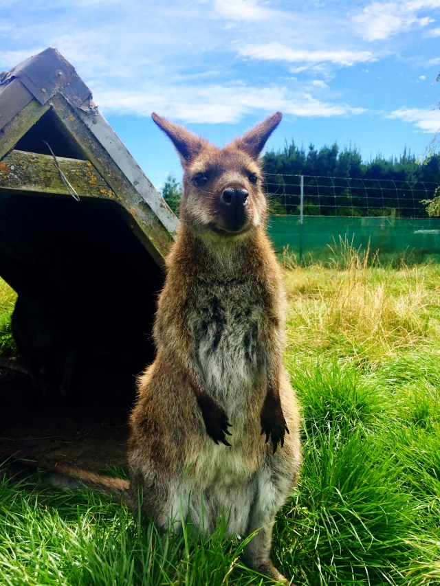 Wallaby in Waimate