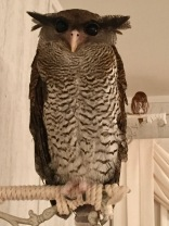 Malay eagle owl aka Mr. President