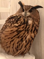 Eurasian Eagle Owl aka Takoyaki