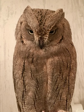 Common Scops Owl aka Mr. Satoshi