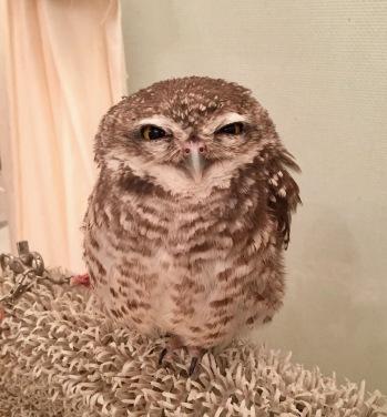 Little Owl aka Mr. Yamashita
